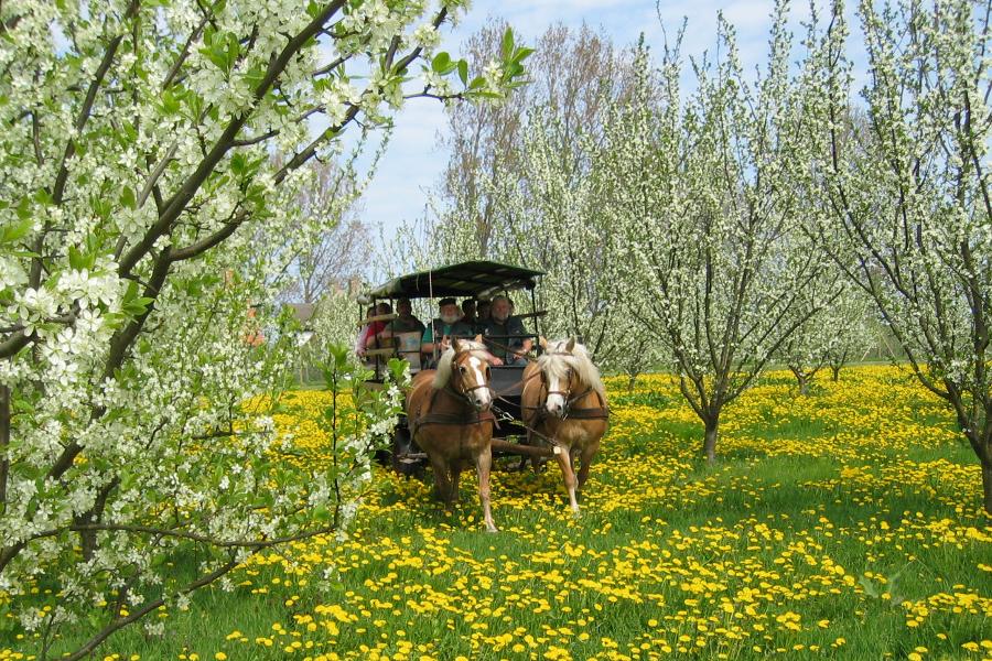 Haflinger Kutsche auf Ummanz